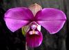 phragmipedium-peruvianum1